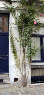 Stoeptegelplant